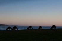 Kangaroos grazing on the NSW south coast by the ocean © James Sherwood - Bluebottle Films