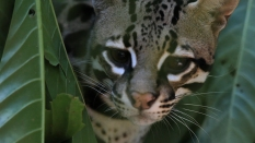 Ocelot - Corcovado National Park © James Sherwood - Bluebottle Films