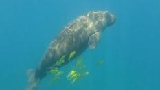 Dugong - Ningaloo Reef © James Sherwood - Bluebottle Films Oct 2014