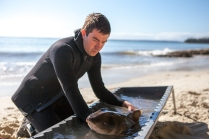 Maquarie University researcher Nathan Bass doing port jackson tagging - Jervis Bay© Danielle Ryan Sept/Aug 2014