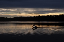 Mr Percival, the pelican with a broken wing, swimming on Wallaga Lake - Bateman Marine Park. Sean Burke and the other fishermen feed Mr Percible their fish scraps ©Danielle Ryan Sept:Aug 2014