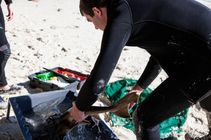 Nathan Bass Maquarie Uni researcher doing port jackson tagging © Danielle Ryan Sept:Aug 2014