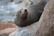 Seal relaxing at Narooma ©Danielle Ryan - Bluebottle Films