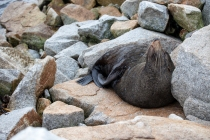Seal posing for camera at Narooma © Danielle Ryan - Bluebottle Films