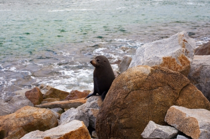 Seal sitting on rock at Narooma © Danielle Ryan - Bluebottle Films
