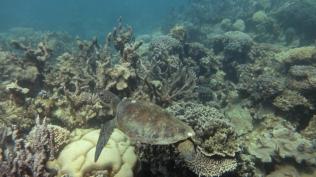 Green Sea Turtle - Ningaloo Reef © James Sherwood - Bluebottle Films Oct 2014