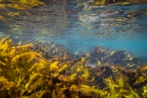 A healthy kelp ecosystem at Shelly Aquatic Reserve © James Sherwood - Bluebottle Films