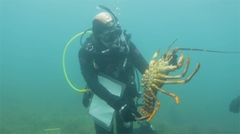 Researcher holding a lobster, Maria Island © James Sherwood - Bluebottle Films