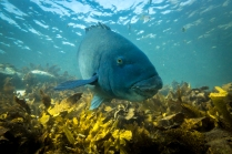 Blue Groper at Shelly Aquatic Reserve © James Sherwood - Bluebottle Films
