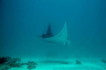 Manta ray swimming at Ningaloo Reef Marine Park Oct 2014 © James Sherwood - Bluebottle Films