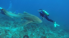 James filmed Danielle swimming with a leopard shark at Julian Rocks, Byron Bay © James Sherwood - Bluebottle Films